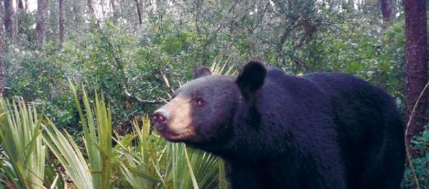 No longer threatened with extinction in Florida, black bears could ... - jacksonville.com