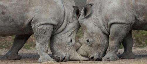 Vince the rhino shot dead at French zoo by poachers who chainsaw ... - thesun.co.uk
