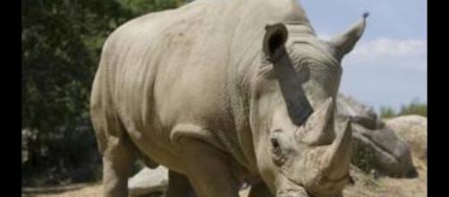 O rinoceronte Vince foi morto cruelmente por caçadores em zoológico na França