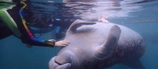 How to wwim with endangered wild manatees. Photo courtesy of Jack and Jill Travel - jackandjilltravel.com