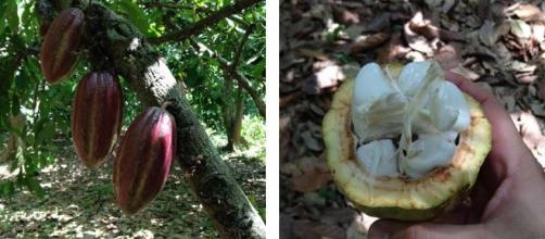 El cacao de Barlovento en la gastronomía criolla.