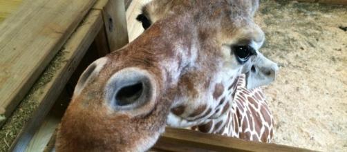This is why April the giraffe hasn't delivered yet | Komando.com - komando.com