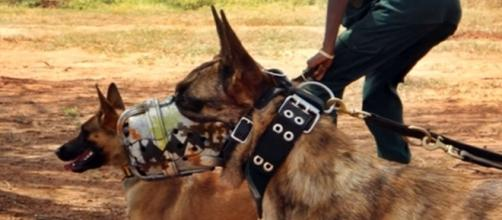 Anti poaching dog training. Image screencap via Daniel Iuga Youtube.com