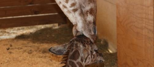 April the giraffe gave birth to her baby boy on April 15, 2017. / Photo via Blasting News and npr.org