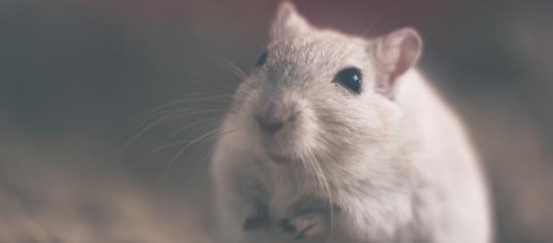 Ratos podem ajudar a entender os efeitos da meditação