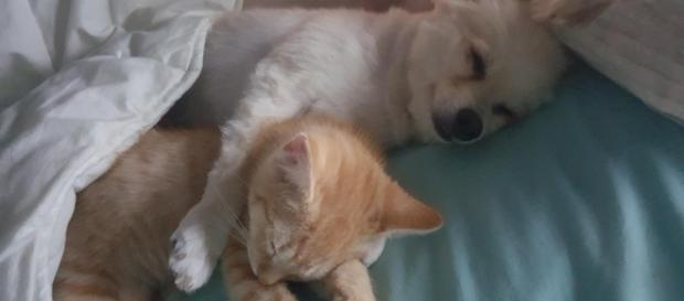 Tiny Kitten Grows Up With Very Protective and Loving Surrogate Dog Dad ... - lovemeow.com