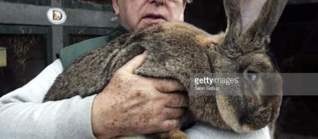 Giant Rabbits Farmer to Supply North Korea Photos and Images ... - gettyimages.com