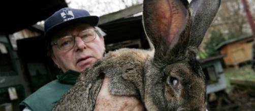 World's longest rabbit Darius, whose offspring Simon died aboard a UA flight. / From 'The Inquisitr' - inquisitr.com