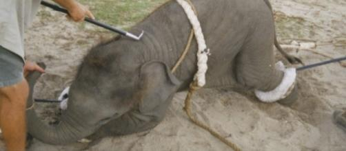 Elefante maltrattato in un circo