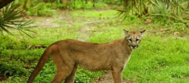 Florida panthers an iconic, endangered species caught in ... - jacksonville.com