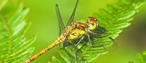 """Female common darter dragonfly"""" by Richard Bowler 