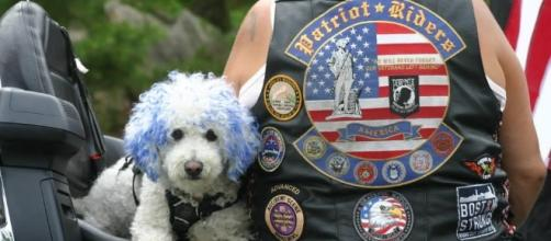 Bad to the bone: Cooper the Middleboro motorcycle dog will steal ... - wickedlocal.com