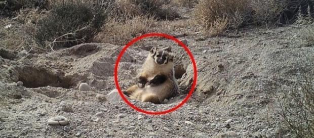 """Segundo o cientista que descobriu as imagens, o texugo parecia """"feliz"""" com a quantidade de comida que conseguiu"""
