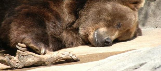 Hiberating bears can now be killed re: Google Advanced Images