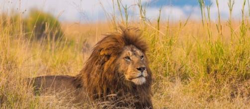 Lions 'extinct within a generation' if predator's food supplies ... - mirror.co.uk