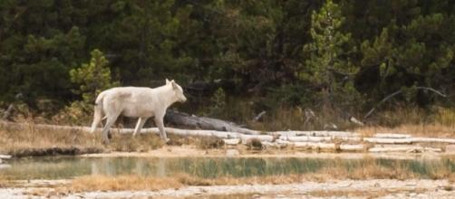 Photo of white wolf in Yellowstone via Flickr by Nathan Adams/CC BY-NC-ND 2.0