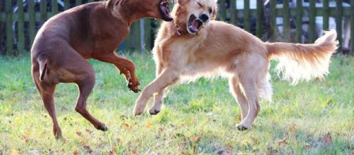 How to Safely Break Up a Dog Fight - thespruce.com