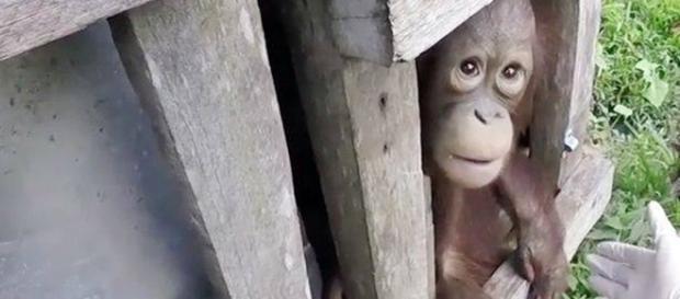 Caixa de madeira onde o orangotango foi mantido prisioneiro durante dois anos