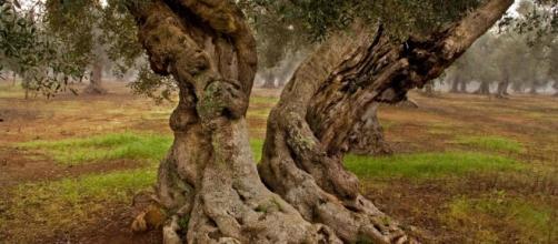 Ulivi di Puglia a rischio xylella