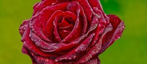 Red, Rose - Free images on Pixabay - pixabay.com