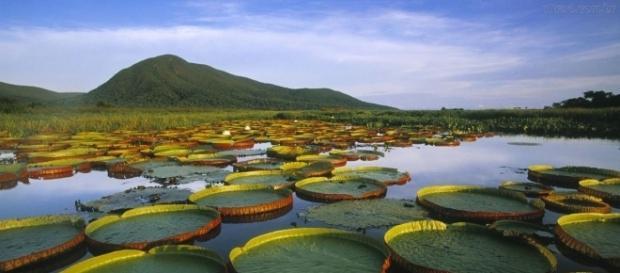 A vitória-régia é uma planta aquática símbolo da Amazônia