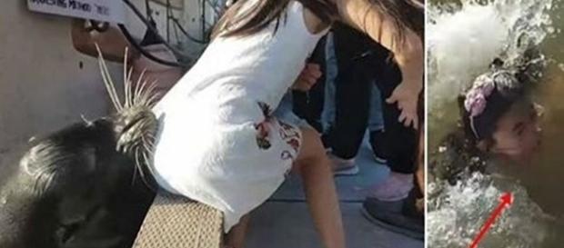Exato momento em que o Leão-marinho puxa a menina para a água