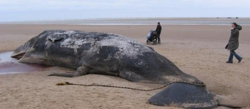 A 79-foot-long dead blue whale was found washed up at a beach in Northern California [Image: Pixabay]