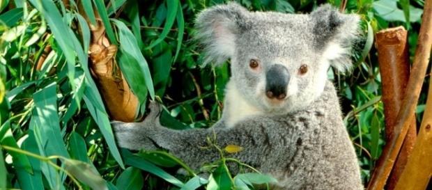 Houve queda de mais de 50% na população de coalas em Queensland