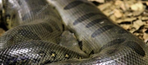 A cobra gigante estava descansando nas águas do rio