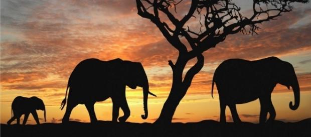 Joseph Ortmann - Elephant - 25/09/2016