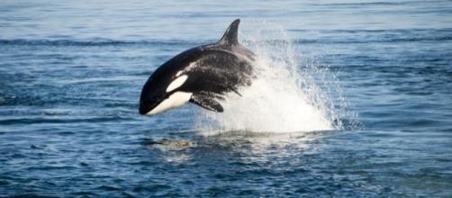 Killer Whale | Oceana - oceana.org