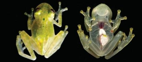 Named Hyalinobatrachium yaku, these tiny amphibians are as transparent as glass. Photograph courtesy of: J. M. Guayasamin et al., 2017/ZooKeys