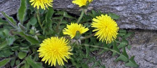 Dandelion (Taraxacum officinale) — Pure Home Essentials - purehomeessentials.com