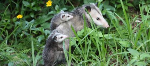 Opossum Symbolism; A message - Spirit Animal Totems - spirit-animals.com