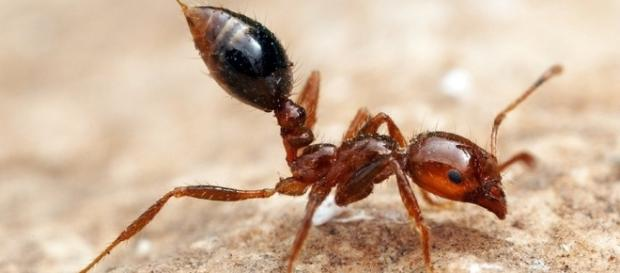 Best Defense Against Fire Ants May Be Allergy Shot Offense : Shots ... - npr.org