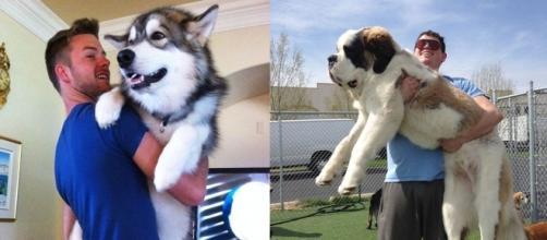 Cachorros que crescem de uma forma absurda