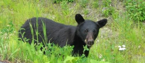 Black bear in Alaska kills teen/Photo via Jeanette S.,Flickr