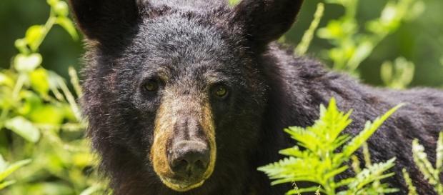Fatal black bear attacks killed 2 in Alaska. Source: Pixabay
