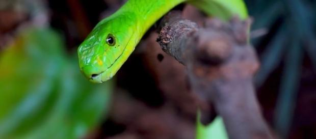 Kidney Disease could now be treated by Dangerous Snake Venom [Image by Pixabay]