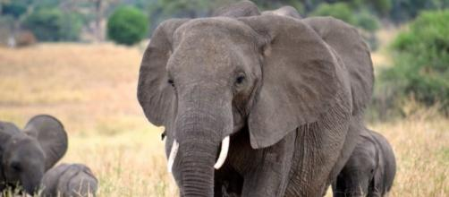 Peter Ho lectures: Of elephants in the room that are black - The ... Image source BN library