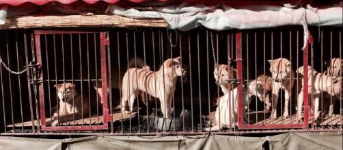 Dogs are tortured, as the adrenaline rush gives dog meat a better flavor. [Image via Facebook/Animal Hope and Wellness Foundation]