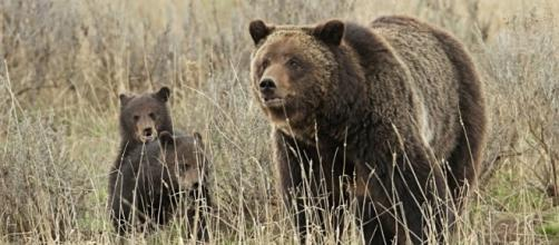 Grizzly sow and cubs/Photo Via Yellowstone National Park, Flickr