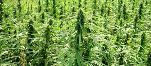 A New York le Green Angels vendono la cannabis