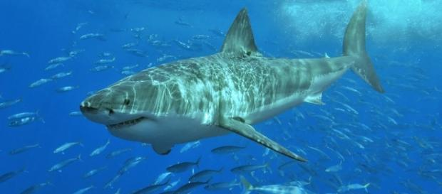 White shark.jpg | Wikimedia Commons - wikimedia.org