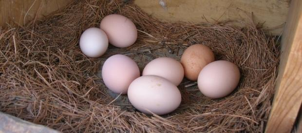 Why do egg shape differ? / Photo via Jake Wasdin, Flickr