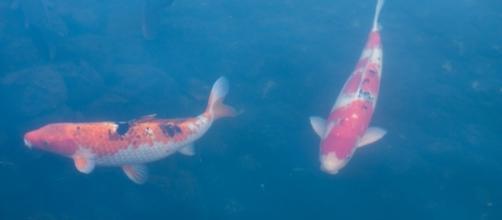 Invasive carp found in Lake Michigan/Photo via alq666, Flickr