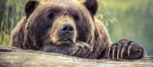 Iconic Grizzly Bear to Become More Vulnerable Image source BN library
