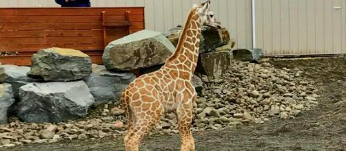 Tajiri, who is a little over two-months-old, is stealing hearts.[Image via Kelly Bain]
