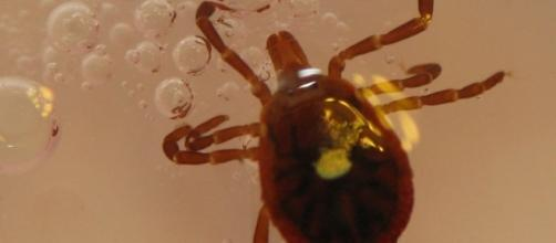 Tick that has the potential to spread Lyme disease. / [Image by Frankieleon via Flickr, CC BY 2.0]]