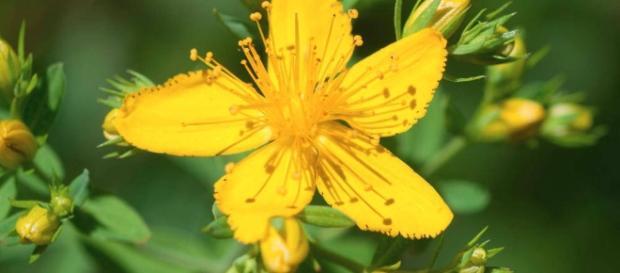 Iperico (o erba di San Giovanni): contro le rughe ma non solo